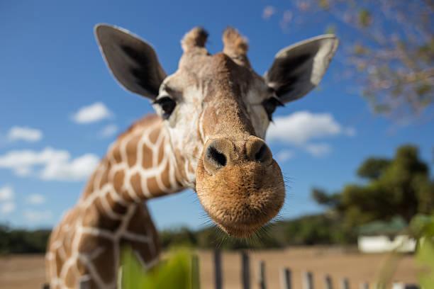 Can baby giraffes sing?